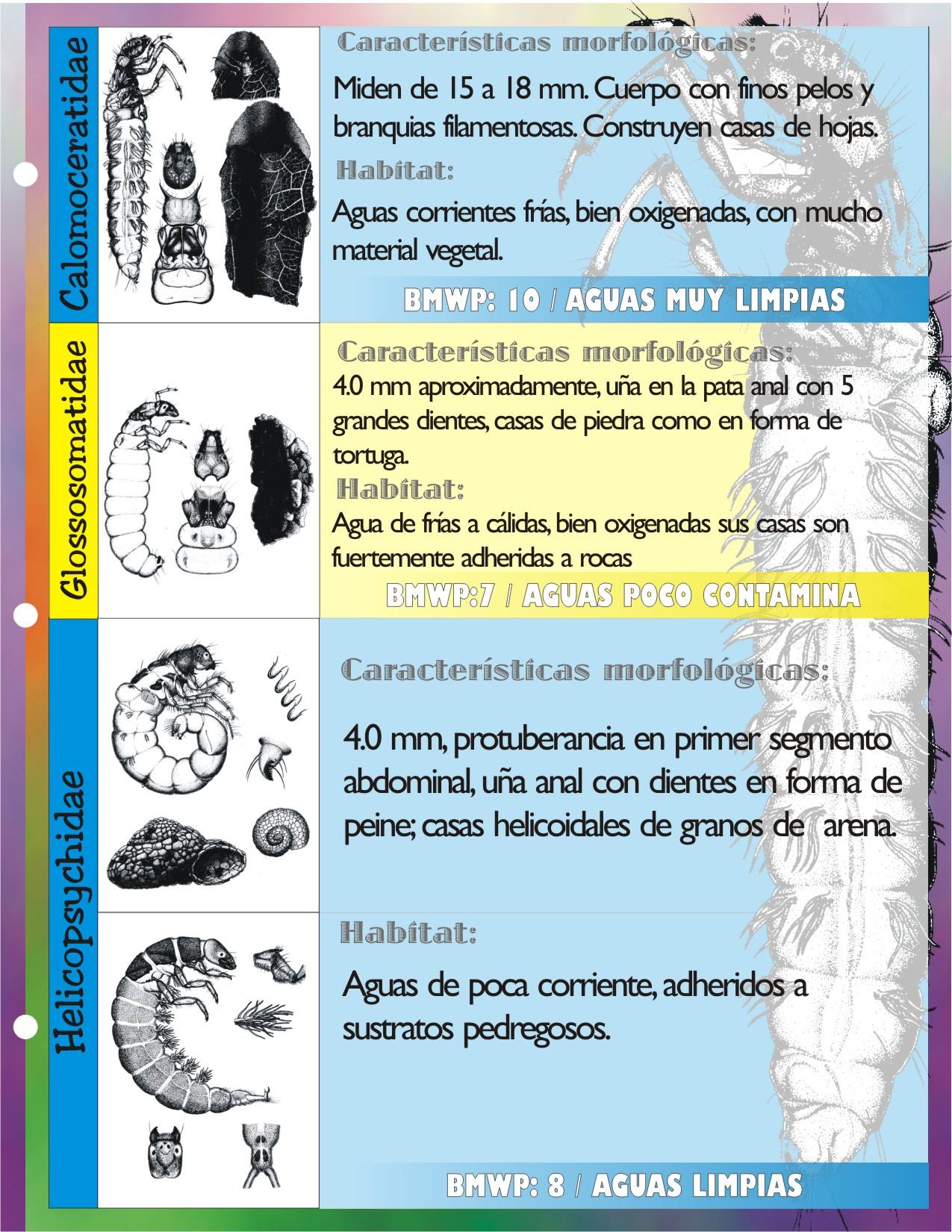 Trichoptera CALAMOCERATIDAE, GLOSSOSOMATIDAE, HELICOPSYCHIDAE, HYDROBIOSIDAE